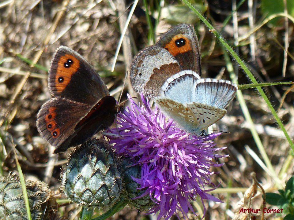 Papillons légers