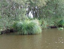Plantes papetières du marais