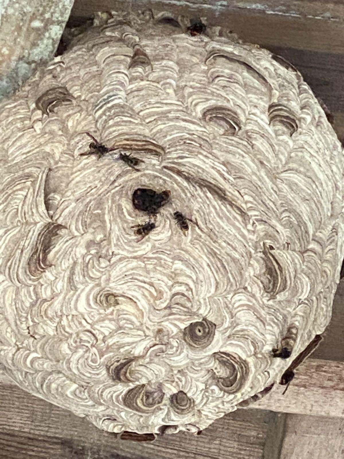 Beautiran destruction traitement de vos nids de frelons par l'ADSA33 contact 06 78 18 32 34