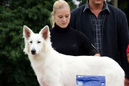 elite one berger blanc suisse nationale d'elevage belgique