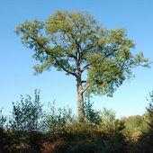 Le chêne Andreau en forêt d'Halatte