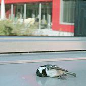 Oiseaux et vitres : éviter les collisions | Station ornithologique suisse