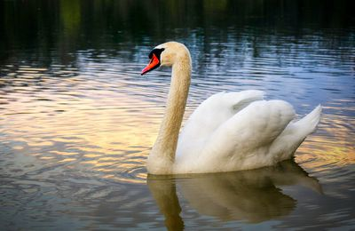 Cygne - Lac - Nature - Photographie - Wallpaper - Free