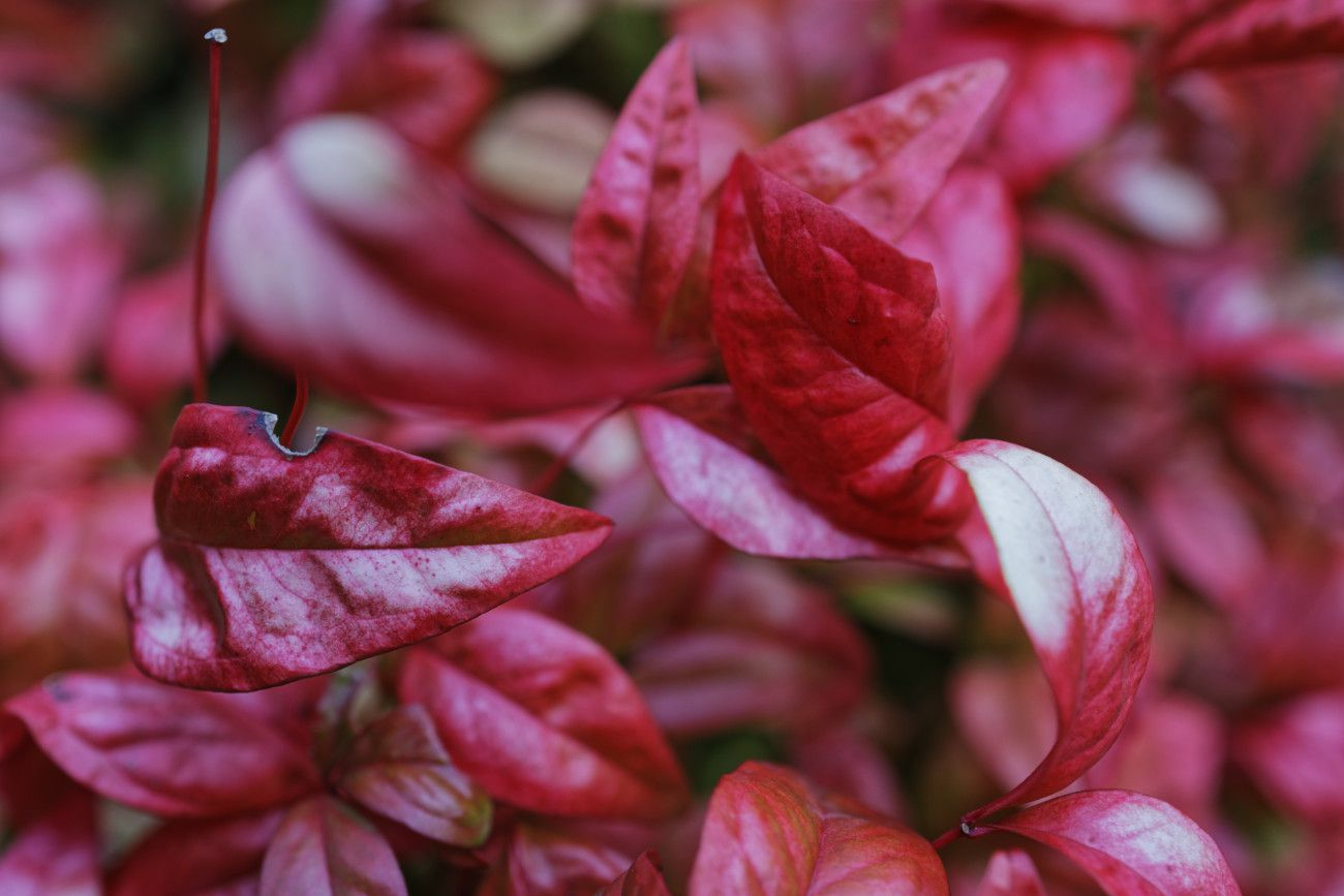 Nandina domestica - bambou royal