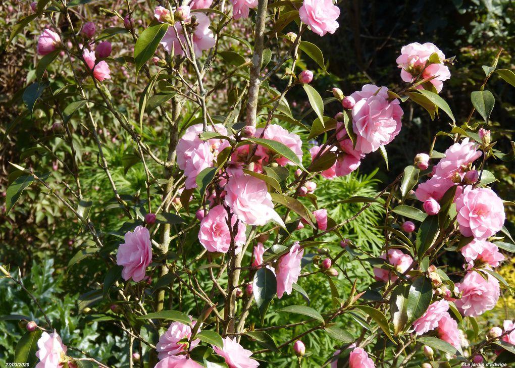 Camelia 'Spring festival' - camellia 'Spring festival'.