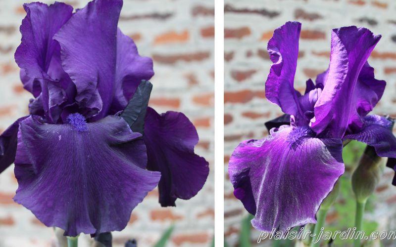 Notre Iris préféré a retrouvé son nom: 'loyalist'