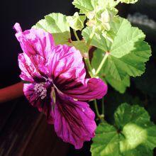 Encore une fleur inconnue dans les jardinières en 2018, mais qu'est ce que c'est ? de la mauve !