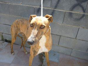 chiens d'Espagne a adopter sous contrat associatif sos chiens galgos
