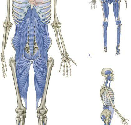 Le périnée au sein de sa chaîne myofasciale : la ligne profonde antérieure