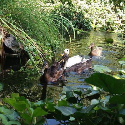 Les canards de la maison des fées