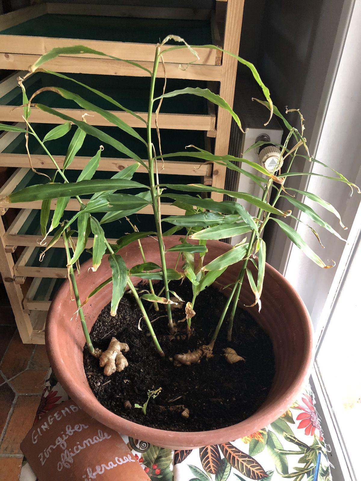 Zingiber officinale, le gingembre de la famille des Zingiberaceae