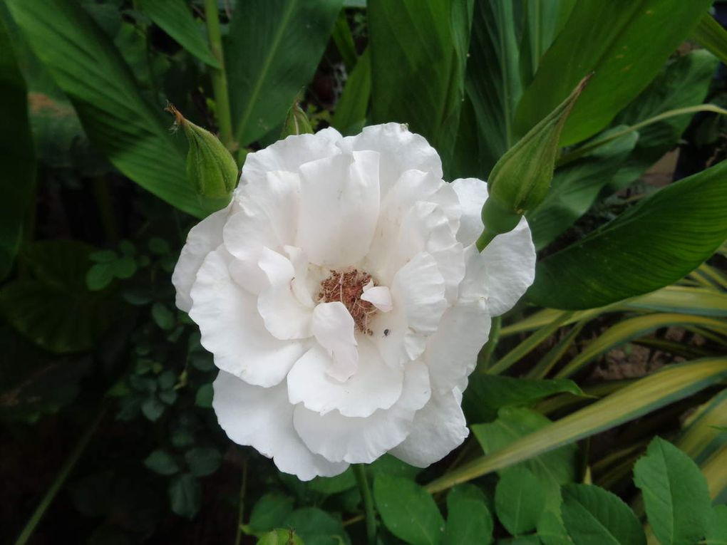 Mes fleurs du moment ......