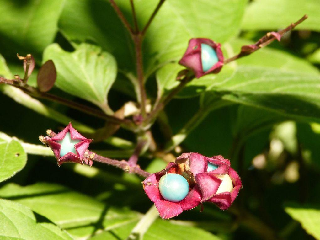 Les étapes de la fructification d'août à début octobre. Petits fruits bleus dans leur calice rouge-pourpre.