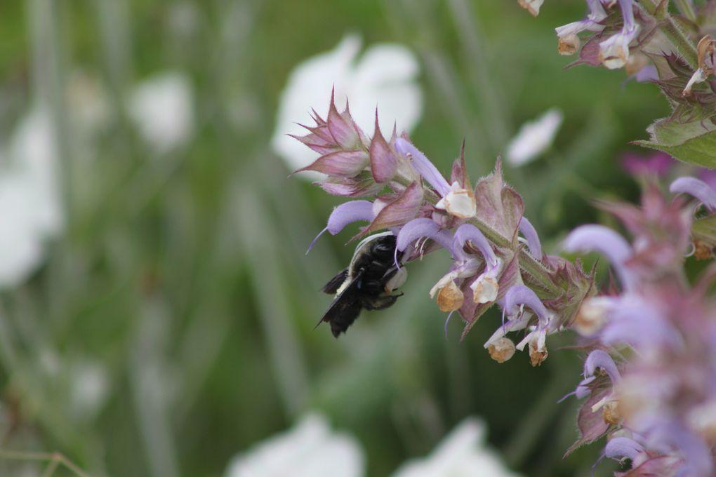 Le bon usage de la Salvia sclarea