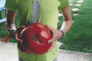Tomates géantes- Record à Battre!
