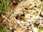 ANDRENA RHENANA ( SUITE ) - OBSERVATIONS. 2 .
