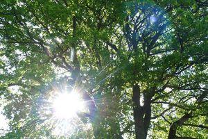 Arbres acadabra : Chêne tricentenaire à 5 branches