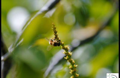 Les pollinisateurs de la Caravelle