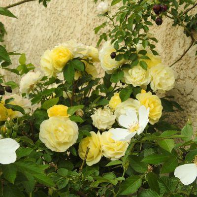 Les roses du jardin en avril-mai 2019...