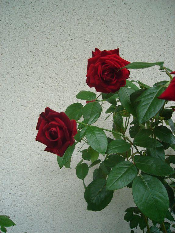 Diaporama de trois photographies du rosier Ingrid Bergman