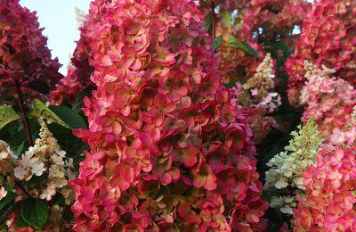 Hortensias paniculatas et quercifolias