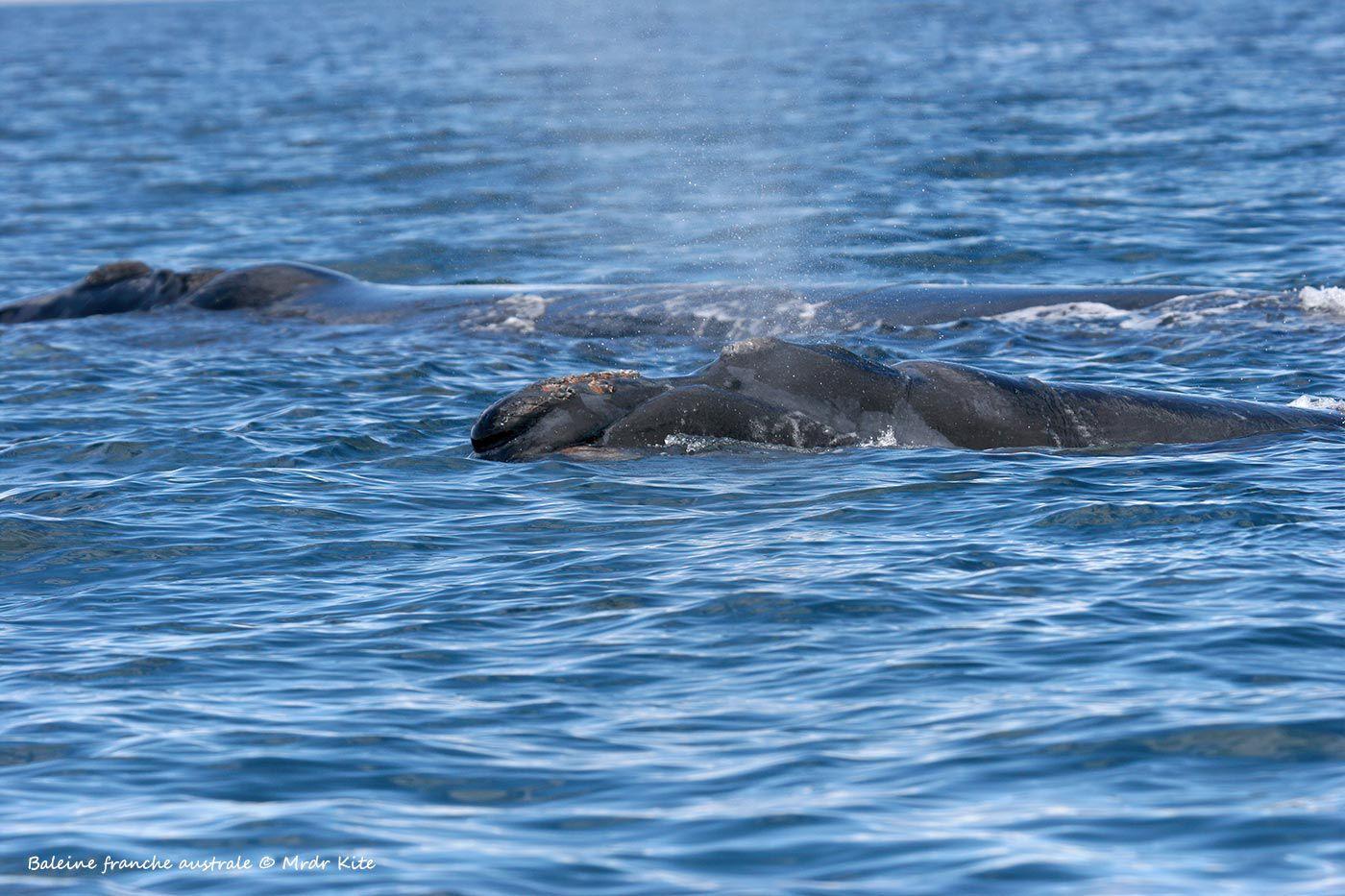 Argentine 2006 - Baleine franche australe et son baleineau