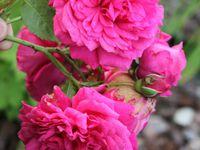 b9. Les rosiers en L. de La à Lal.