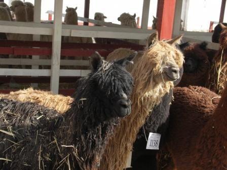 FECASAM, a Macusani pays des alpacas et capiatl mondial de l alpacaria