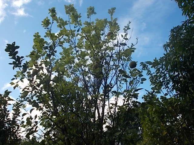 explication sur fabrication de puro, cafe, derniere photo  atelier de couture, Nadieska aupied d un arbre dont j ai oublie le nom et dont la peau  maceree est bonne contre les coups.