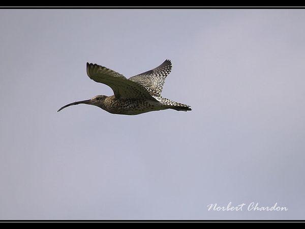 Courlis cendré en vol au dessus d'une prairie
