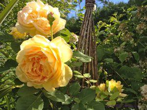 'The Generous Gardener' - 'Golden Celebration'