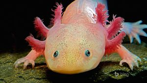 L'axolotl, mais quel étrange animal !
