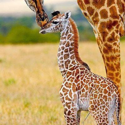 Girafes - Maman - Bébé - Picture - Free