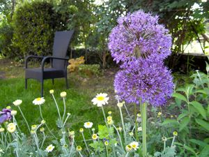 Allium'Purple sensation'