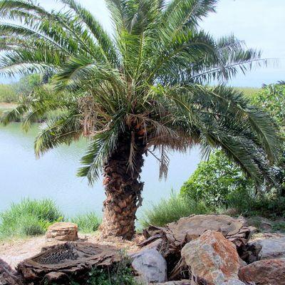 Bords de l'Agly : les palmiers (3)