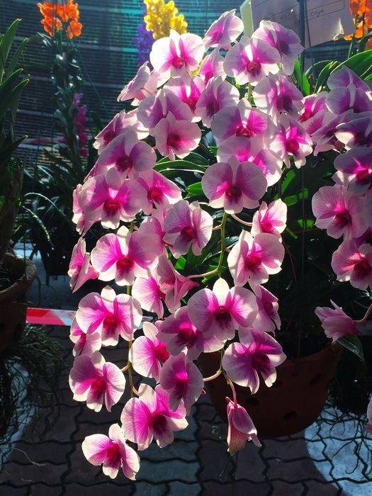 """Environ 400 plantes en fleurs ont été présentées par de nombreux """" orchidophiles """" venus de différents états de Malaisie. Les photos : © Gérard Petiot, faites à la volée au iPhone 6 et envoyées par e-mail à Philippe Pons pour publication. Un grand merci à Philippe."""