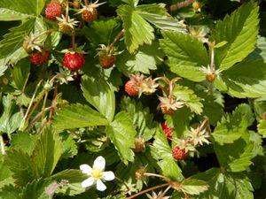Mes  jolies fraises des bois