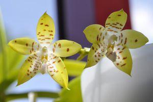 Ah ces jolis hybrides primaires de Phalaenopsis ! (mise à jour : 03/11/14)