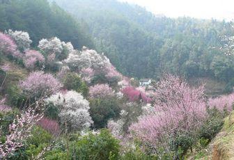 Les pruniers de Mai Hua Yu Cun (卖花渔村), Anhui, Chine