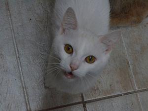 Il est adopté !!! : SENJI, mâle castré tout blanc de 11 mois