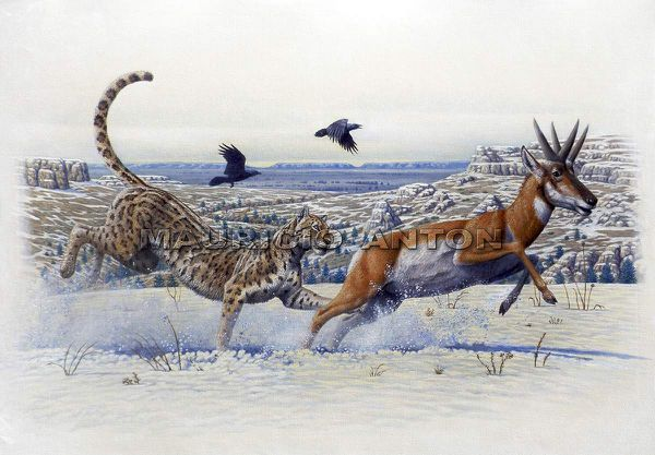 The american Cheetah, Miracinonyx hunting a pronghor