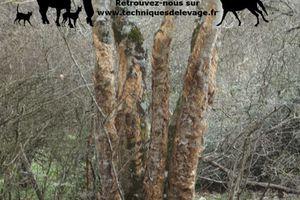 Consommation d'écorce par les chevaux