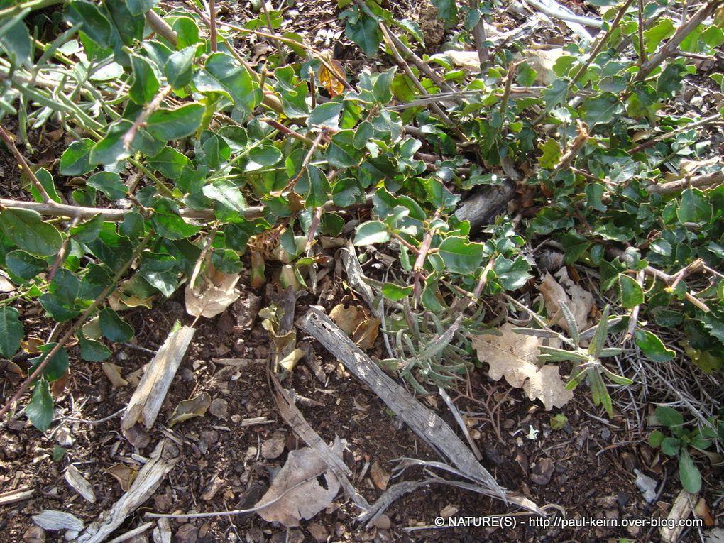 La garrigue est un bon biotope pour la cueillette des morilles. Notamment autour des souches résultant des coupes anti-incendies. Var - Massif de la Sainte-Baume - 3 avril 2011