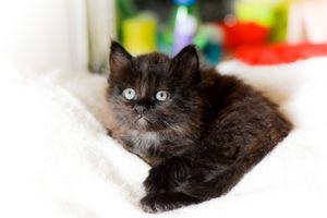 Joya, chaton femelle à poils mi longs, à adopter -> adoptée
