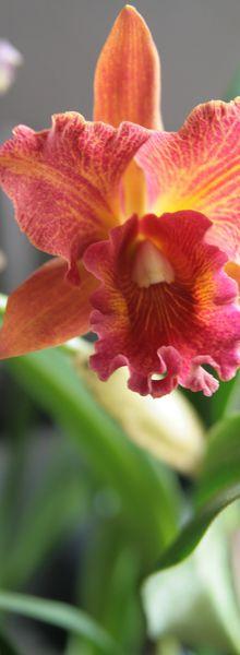 Sous le signe de l'orchidée...