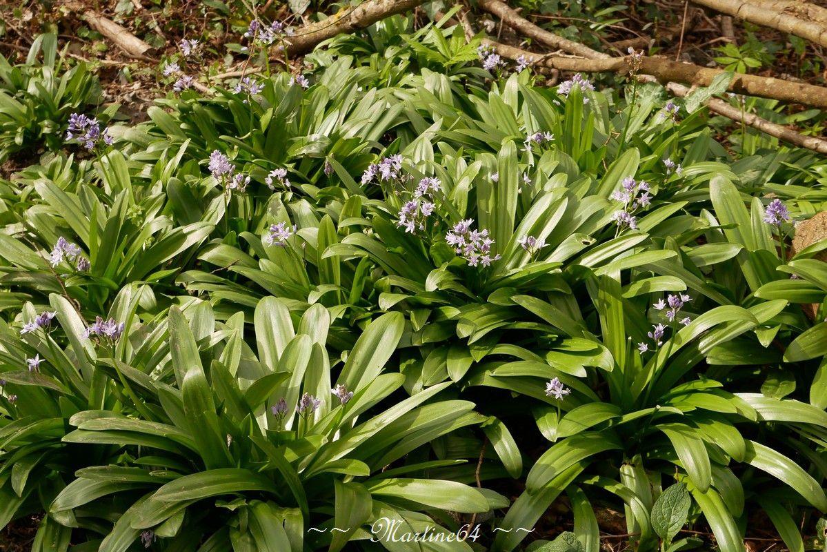 La scille lis-jacinthe