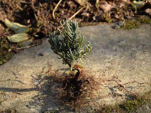 La plupart sont de belles petites plantes, bien ramifiées, sans doute à force de se faire rouler dessus. Elles ont déjà de jolies racines.