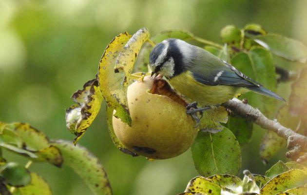 Le régal de la mésange bleue ;-)