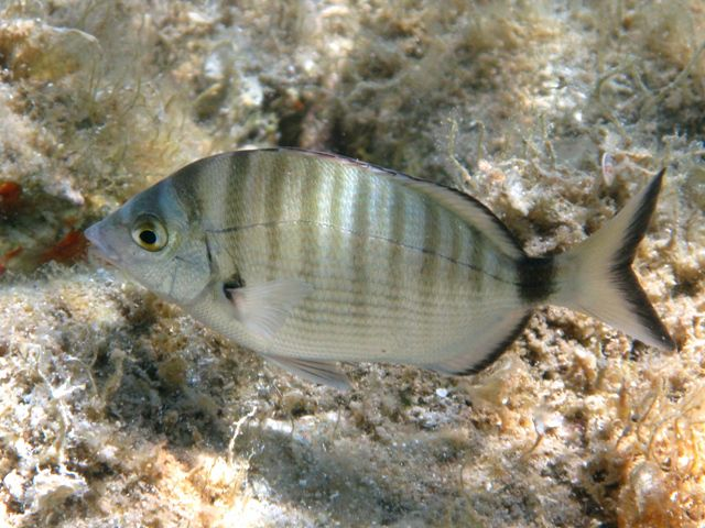 Source : Roberto Pillon, CC BY 3.0 <https://creativecommons.org/licenses/by/3.0>, via Wikimedia Commons. https://commons.wikimedia.org/wiki/File:Diplodus_puntazzo_Sardegna.JPG
