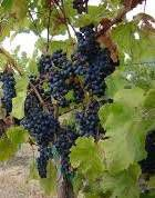 #Petit Verdot Producers New York Vineyards